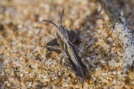 us sizes: Little grasshopper the size of 2 mm wild nature of Baikal. Stock Photo