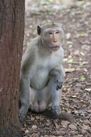 Male rhesus macaques sitting at a tree in the jungle of Thailand. Stock Photo