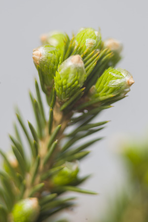 swelled: The young spruce buds swelled. Closeup. Spring. Stock Photo