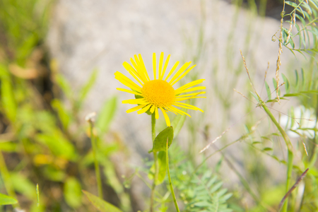 Wild Daisy field yellow which grows in the forests of Siberia. Stock Photo