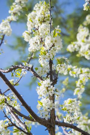 Flowering crabapple home the apple tree blooms beautiful white flowering crabapple home the apple tree blooms beautiful white flowers stock photo 74126054 mightylinksfo