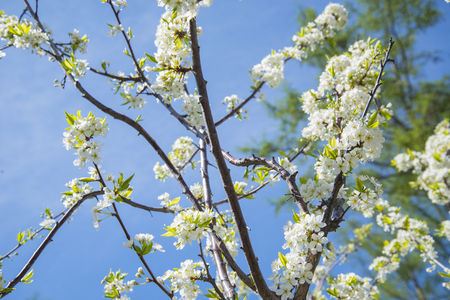 Flowering crabapple home the apple tree blooms beautiful white flowering crabapple home the apple tree blooms beautiful white flowers stock photo 74126053 mightylinksfo