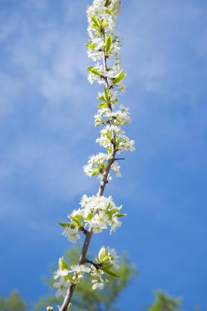 Flowering crabapple home the apple tree blooms beautiful white flowering crabapple home the apple tree blooms beautiful white flowers stock photo 74126056 mightylinksfo