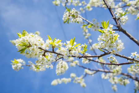 Flowering crabapple home the apple tree blooms beautiful white flowering crabapple home the apple tree blooms beautiful white flowers stock photo 74126062 mightylinksfo