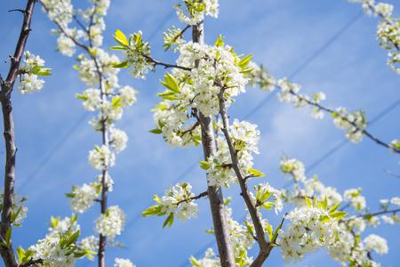 Flowering crabapple home the apple tree blooms beautiful white flowering crabapple home the apple tree blooms beautiful white flowers stock photo 74126066 mightylinksfo