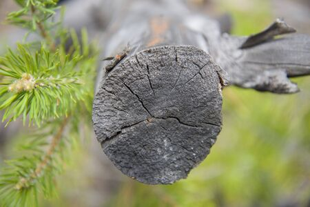 Green pine branch and cut tree in the Siberian forest. Stock Photo