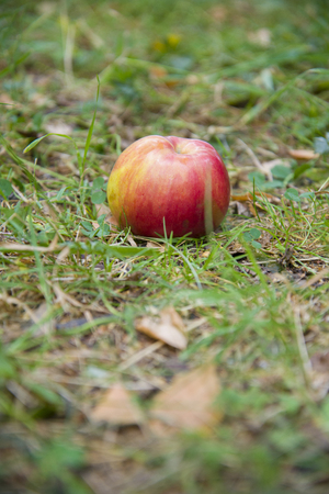 Red Apple lying on green grass. Its time to harvest.