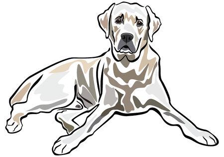 perro labrador: Labrador