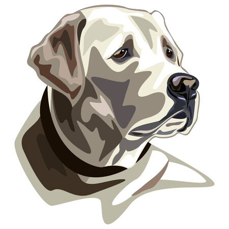 labrador: Labrador illustration  Illustration