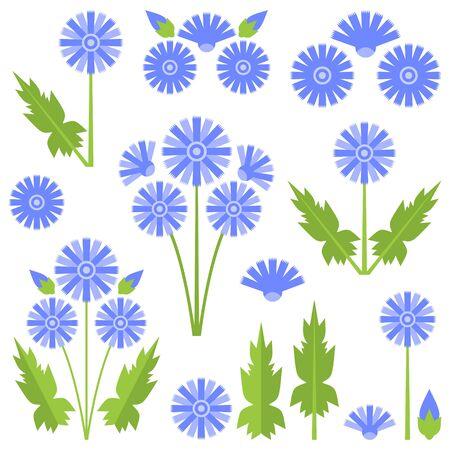 chicory flower: Chicory Illustration