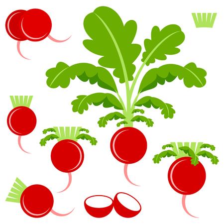 vegatables: Radish Illustration