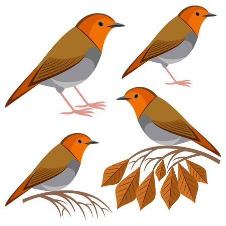 robin bird: robin