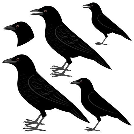 corvo imperiale: corvo Vettoriali