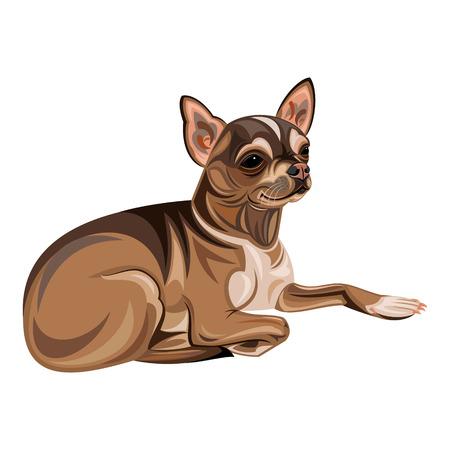 dog isolated: chihuahua