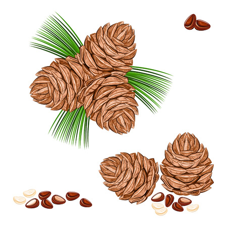 pine nuts Illustration