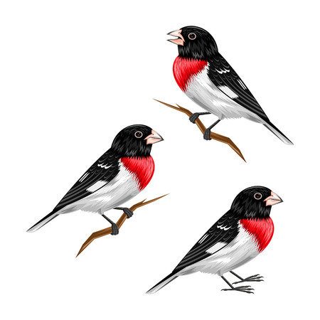 Cardinal grosbeak