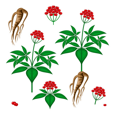 ginseng Illustration