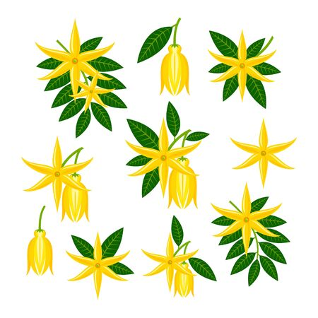 cananga odorata Illustration