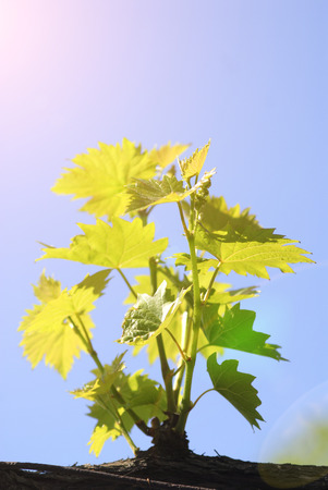 Young branches of grapes