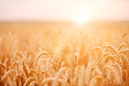 grains: Golden wheat field Stock Photo