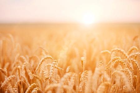 wheat grain: Golden wheat field Stock Photo
