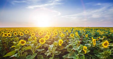 campo de flores: paisaje del girasol con hermosa luz solar flare