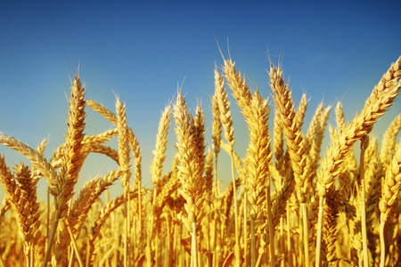 Golden wheat vs dark blue sky