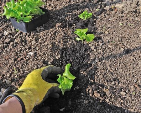 Eine Hand mit einem Garten Handschuh Pflanzen einen Fuß-Salat Standard-Bild - 9241109