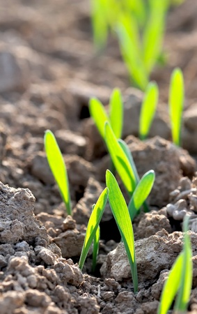 seedlings in the ground
