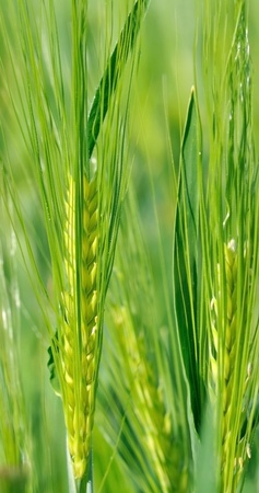 ears of barley covered with green foliage