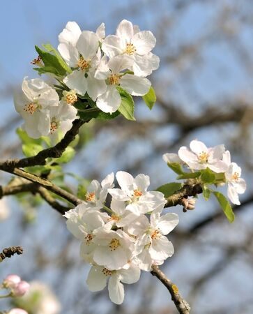 Groups of white apple blossoms seen close Stock Photo - 9791415