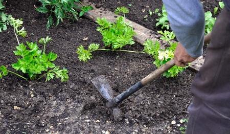 hoeing: Gardener hoeing soil  in a small garden,