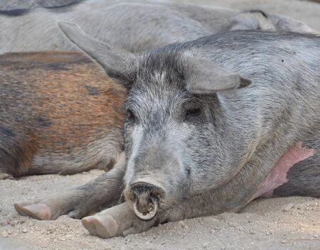 insular: Close up of a semi-wild pig during his nap
