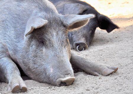 insular: close-up of a pig doing nap