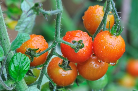 cherry tomatoes covered with rainwater in a vegetable garden
