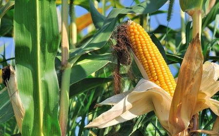 corn field: Beautiful yellow ear of corn on a background  foliage Stock Photo