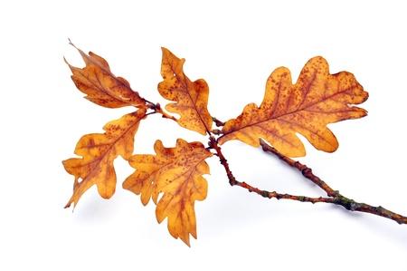 Eichenblatt auf weißem Hintergrund Standard-Bild - 10550516