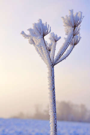 Plants covered with frost in the glow of dawn Stock Photo - 10553436