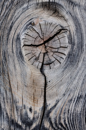 Node on a piece of dead tree with gray slots photo