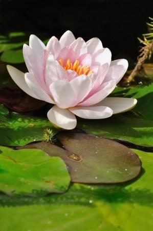 flor de lis: flor de un lirio de agua en un estanque