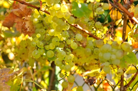 White grapes illuminated by the sun