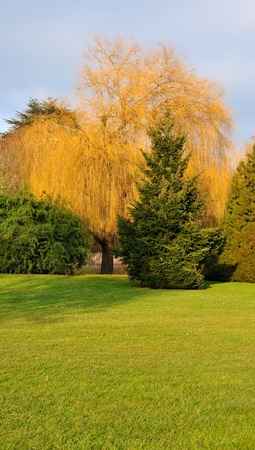A beautiful weeping willow orange backdrop of manicured lawn photo