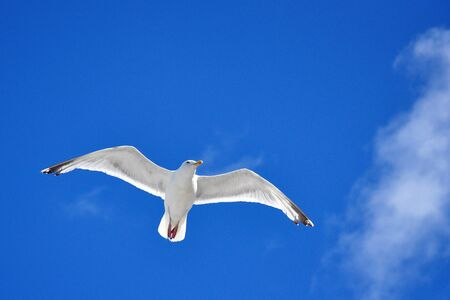 seagull in flight blue sky photo