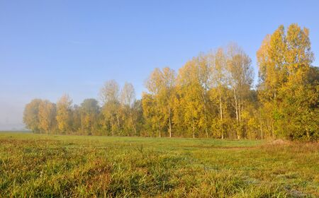 poplars aligned with golden foliage  Stock Photo - 10985320