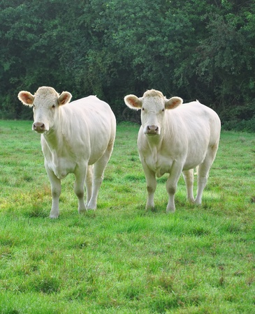 Two young white Charolais cows in a meadow