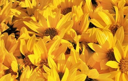 constitute:   Background constitute corollas yellow daisies