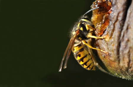 devouring:   Closeup of a wasp devouring the sugar of a fruit on a dark background