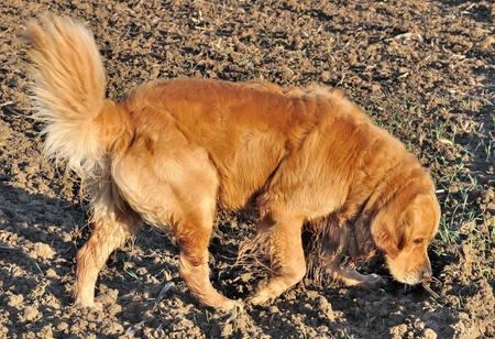 Eine schöne Golden Retriever schnüffelt den Boden in einem Feld Standard-Bild - 11224217