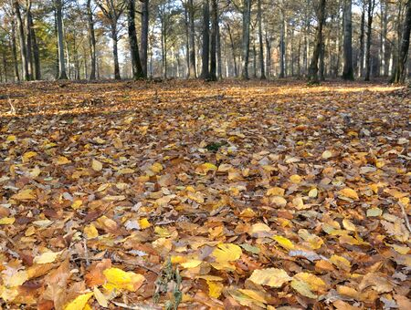 hardwoods: Ground covered with golden leaves in the forest Stock Photo