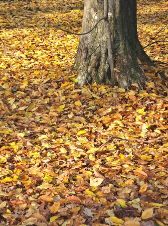 hardwoods: A carpet of golden leaves on the ground in the forest around a tree trunk